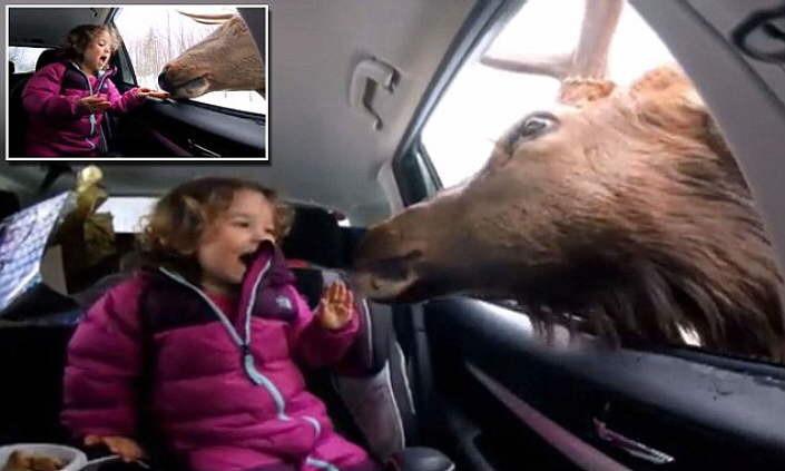 cette fillette voit un cerf passer par la fen tre de la voiture sa r action est plus qu. Black Bedroom Furniture Sets. Home Design Ideas